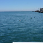 Harbor sea gulls and pelicans